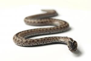 Snakebite snake